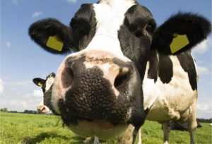 A picture of a curious cow!